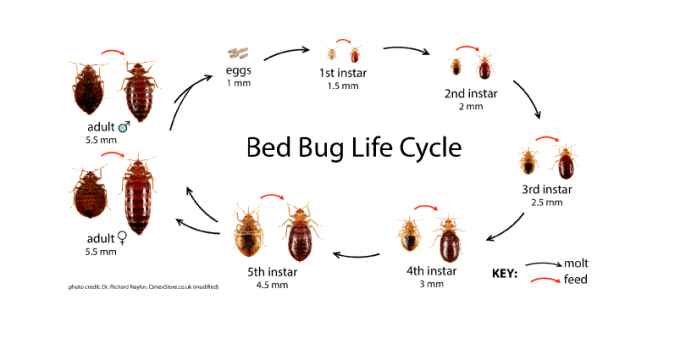 Bed Bug Life Cycle