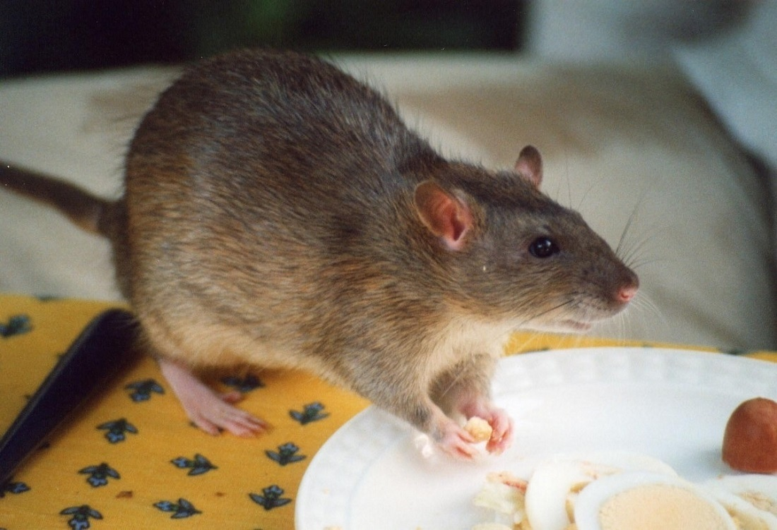 Get Rid of the Mice using Mouse Repellent