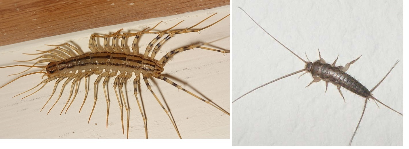 House Centipede Vs Silverfish Difference