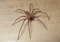 How to Get Rid of Brown Recluse Spiders simple