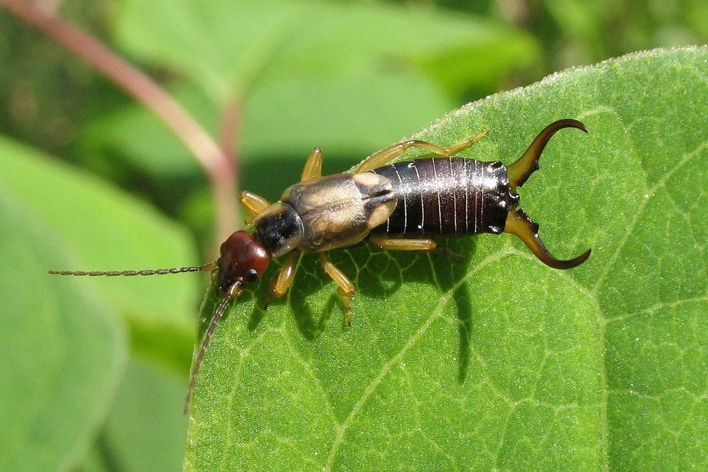 How to Get Rid of Earwigs in Potted Plants Permanently