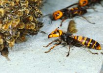 How to Get Rid of Hornets
