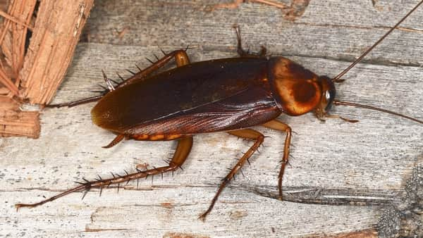 How to Rid of Palmetto Bugs