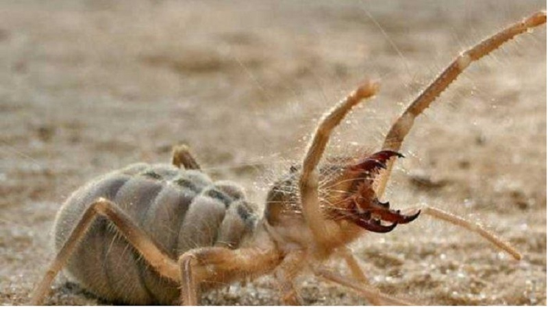 Is Camel Spider Bite Poisonous