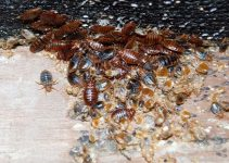 Natural Home Remedies to Get Rid of Bed Bugs