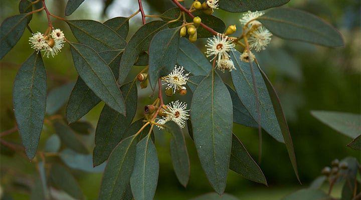 Plant Eucalyptus Tree