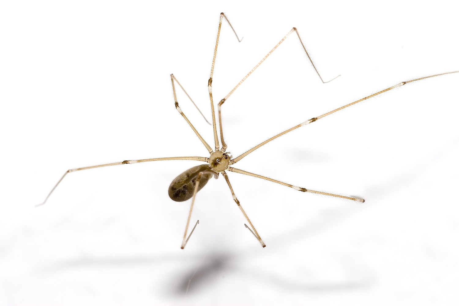 The appearance of cellar spider