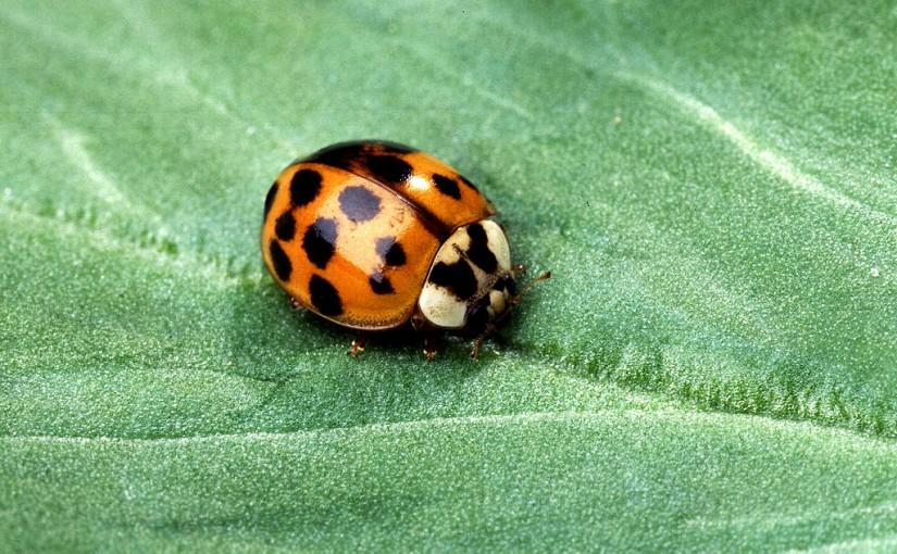 Treating Ladybug Infestations