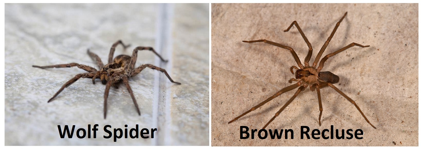 Wolf Spider Vs Brown Recluse Difference