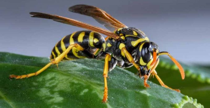 Yellow Jacket Sting
