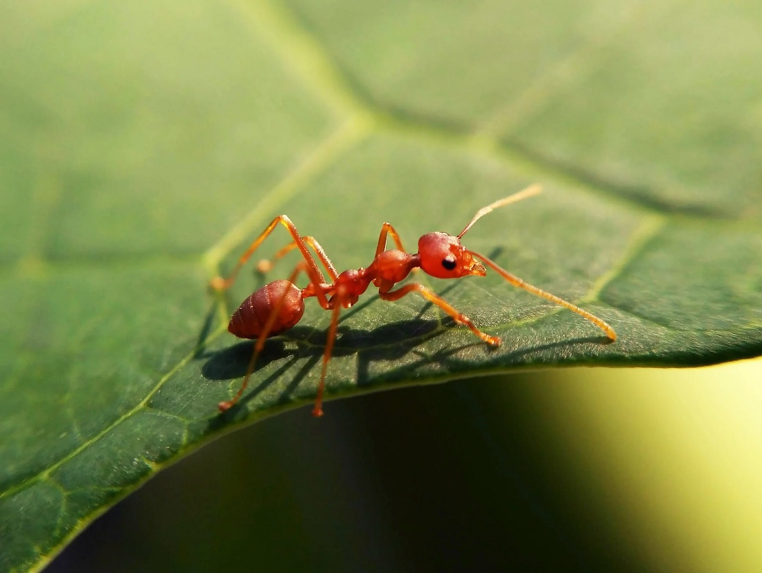 fire ants on leaf