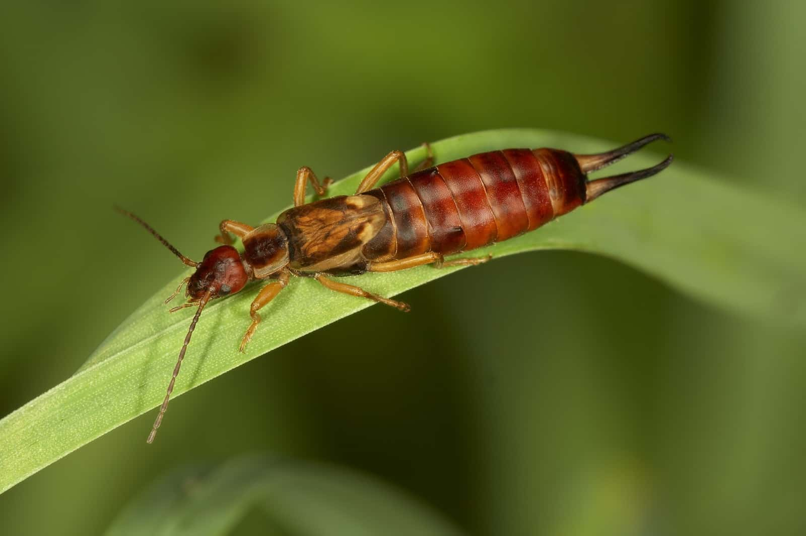 how to get rid of earwigs from your house