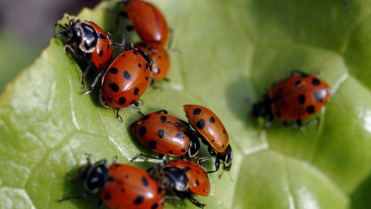 ladybugs can bite