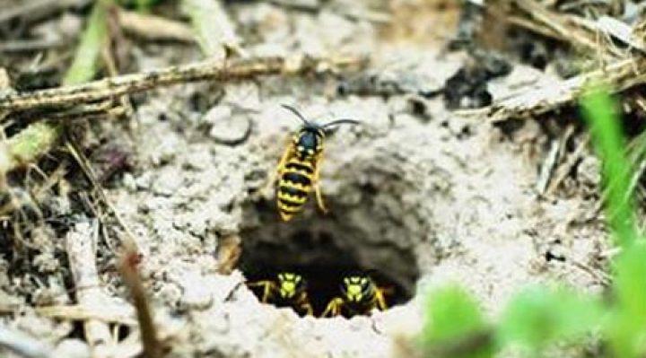 yellow jacket nest in ground