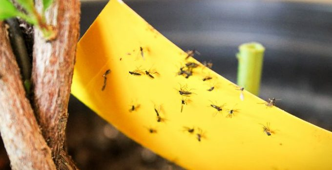 Fly paper for Gnats