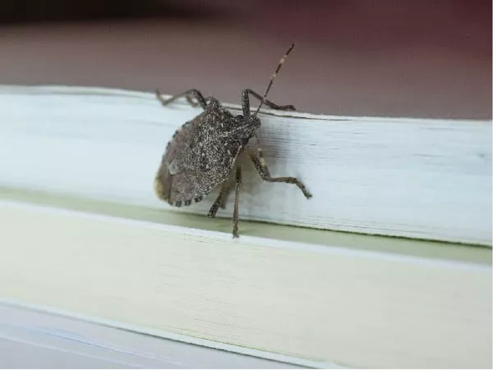 Home Remedies for Stink Bugs in House