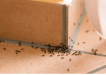 How to Get Rid of Ants In Your House