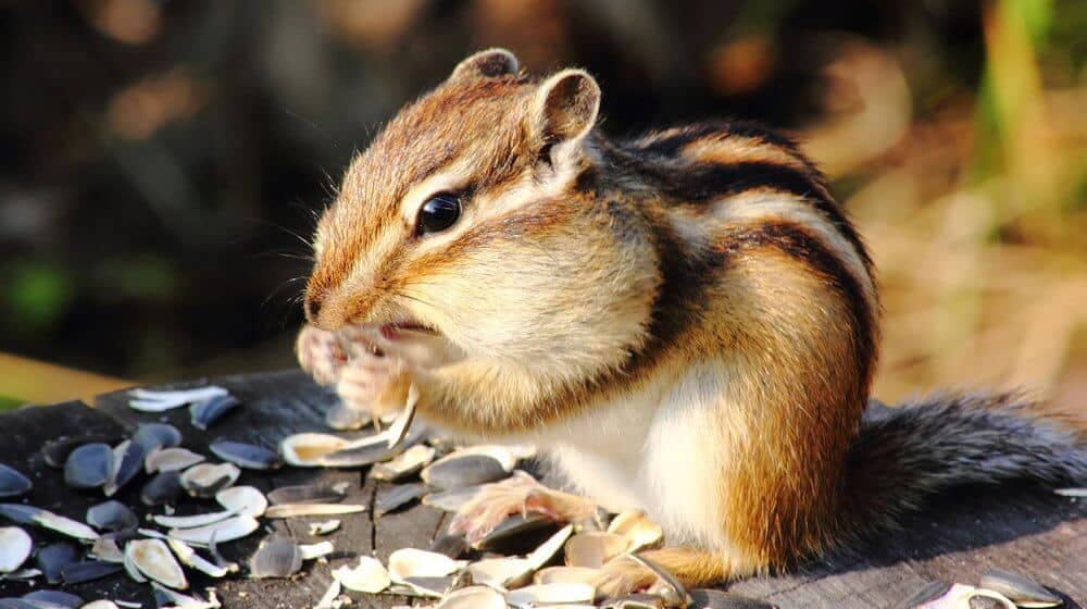 How to Get Rid of Chipmunks In The Garden