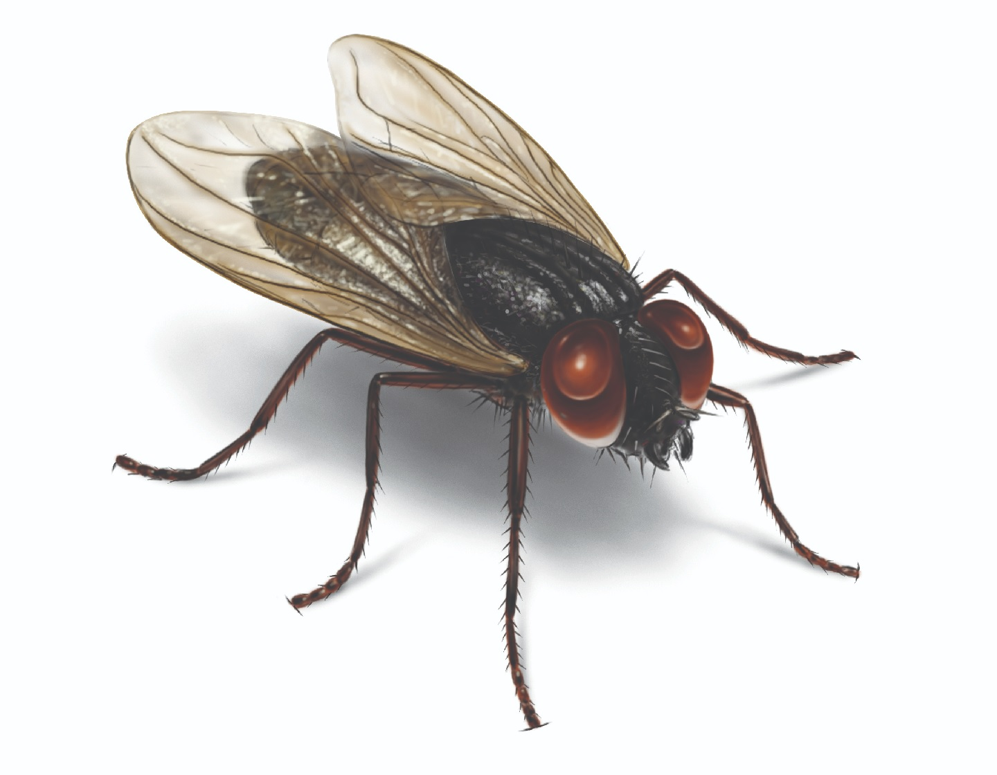 How to Get Rid of House Flies Naturally