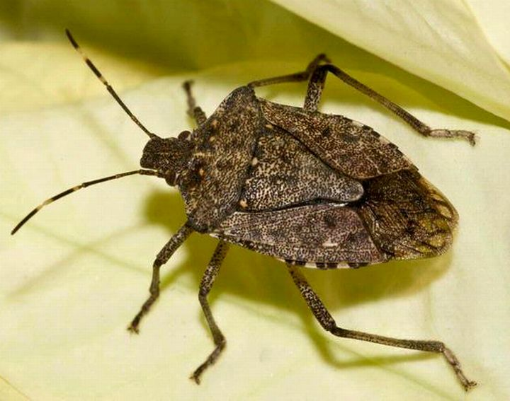 How to Get Rid of Stink Bugs In Your House