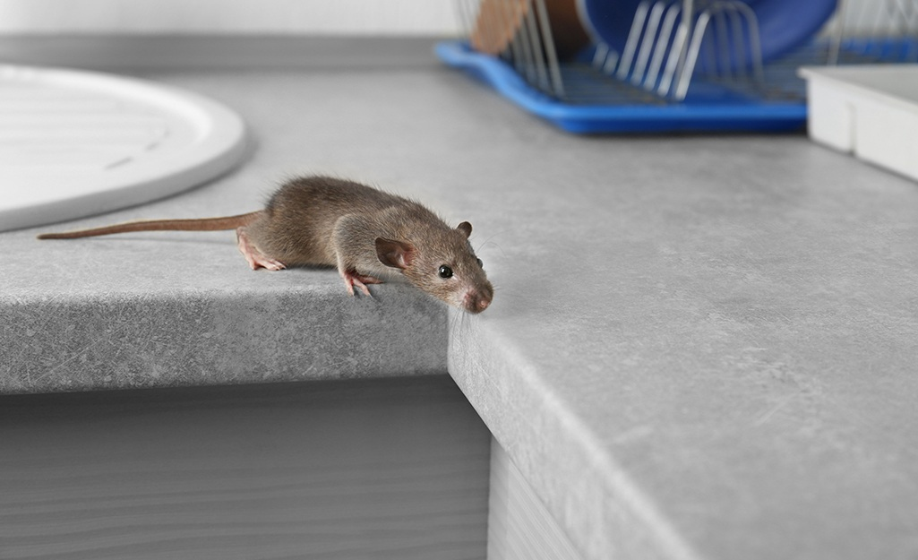 Mice Infestation In House
