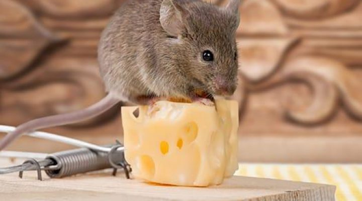 Mouse Traps For Mice