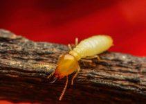 Natural Termites Control