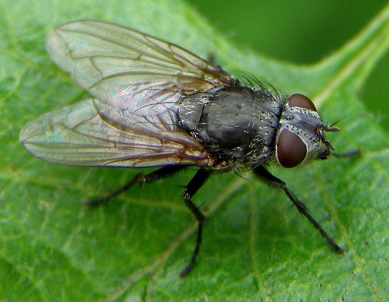 Natural Ways to Get Rid of Cluster Flies