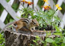 chipmunks prevention in garden