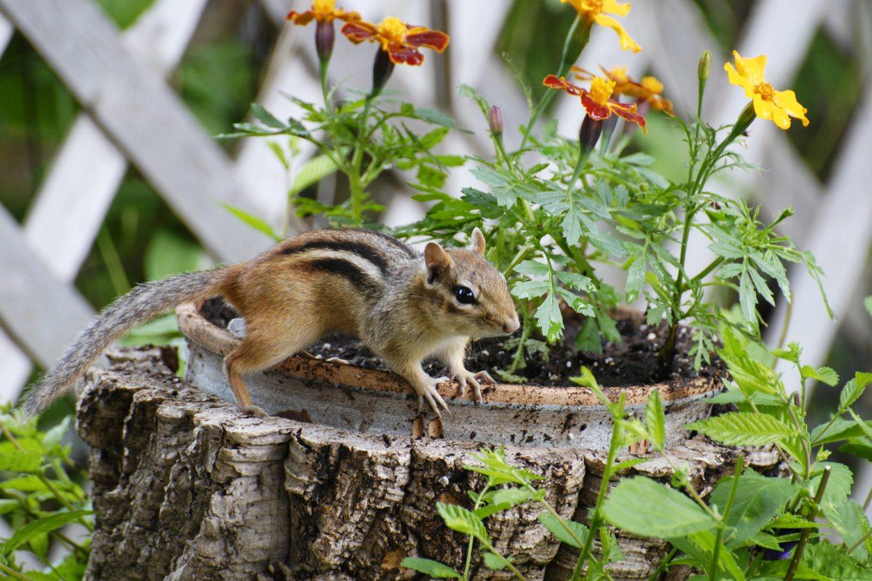 chipmunks prevention in garden