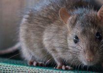 Rats Facts