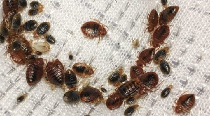 bedbugs on bed
