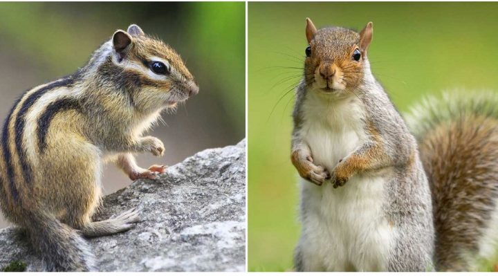 chipmunks and squirrels difference