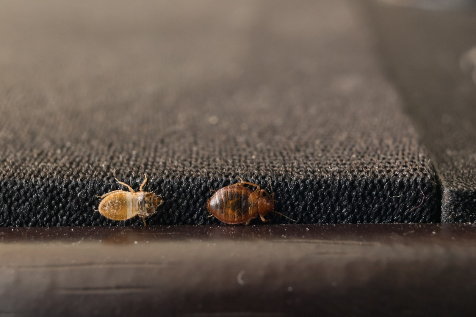 Bedbugs Move From Place to Place