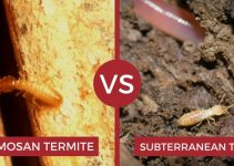 Eastern Subterranean Termite VS Formosan Termites