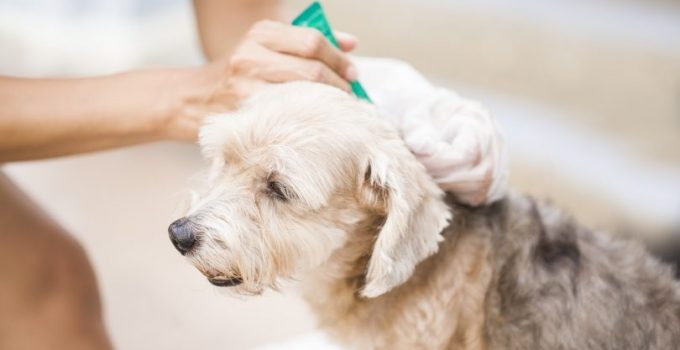 Flea Bites On Dogs How To Prevent Flea Bites On Your Puppies