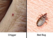 Differences Between Chigger Bites and Bed Bug Bites