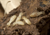 House is Infested with Termite